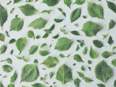 1077Shiso Love + a Recipe