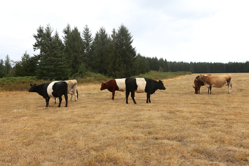 Boondockers_cows2_@julieskitchen